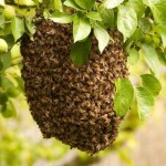 Ever Wonder How Bee Swarms Navigate to a New Home?