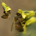 A Piece of Good News Emerges for Wild Pollinating Bees