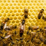 Researchers Rethink the Royal Diet of Queen Bees