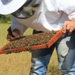 Students Develop Probiotics to Protect Bees from Pesticides