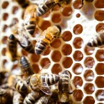 Scientists Discover What Makes Worker Bees Sterile
