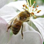Study Finds Honey Bees Prefer to Forage on Farmland