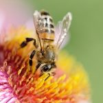 New Microscopic Particles Absorb Toxins in Honey Bees