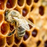 Researchers Create Edible Foulbrood Vaccine for Honey Bees