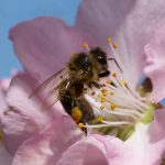 Two New Programs Are Helping to Protect California Bees